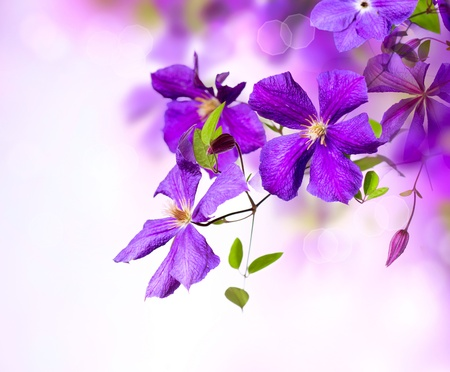 Clematis Flower  Violet Clematis Flowers Art Border Design  版權商用圖片