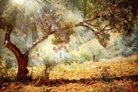 Olijfbomen Stockfoto