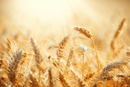wschód słońca: Pole Suchej Złotego koncepcji zbiorów pszenicy Zdjęcie Seryjne