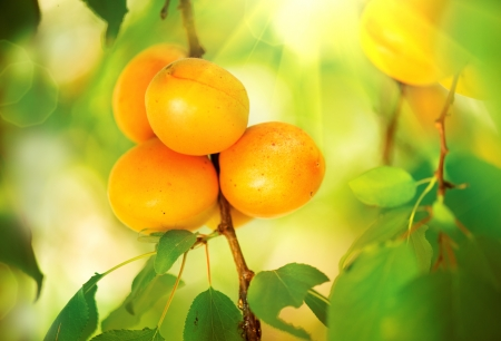apricot tree: Apricot Growing  Ripe Apricots in Orchard  Organic Fruits  Stock Photo