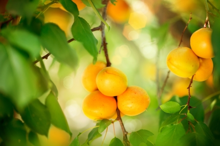 orchard: Apricot Growing  Ripe Apricots in Orchard  Organic Fruits  Stock Photo