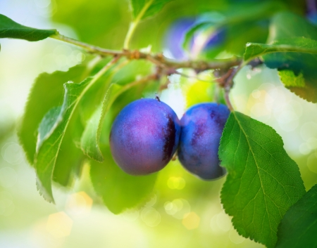 Organic Ripe Plums Growing in orchard Stock Photo - 20934432