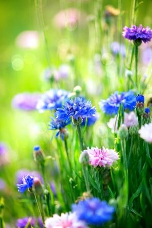 garden cornflowers: Cornflowers  Wild Blue Flowers Blooming  Closeup Image
