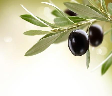 olivo arbol: Aceitunas Negro oliva madura en un árbol Foto de archivo