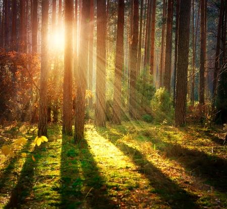 houtsoorten: Misty Old Forest Hout van de herfst Stockfoto