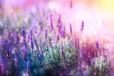 Lavender 免版税图像
