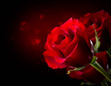 Red Rose Flower isolated on Black  St  Valentine s Day photo
