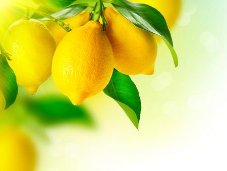 lemon tree: Lim�n Maduro limones colgando de un �rbol de lim�n en crecimiento Lim�n Foto de archivo