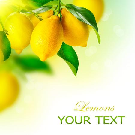 Citroen rijpe citroenen Opknoping op een Lemon tree Groeiende Lemon Stockfoto