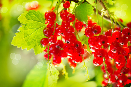 red currant: Red Currant  Ripe and Fresh Organic Redcurrant Berries