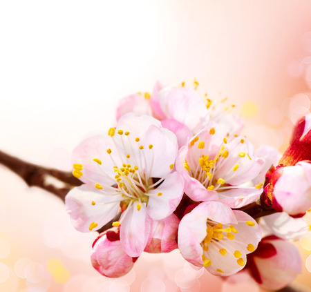Spring Blossom  Apricot Flowers Border Art Design