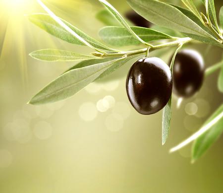 成長しているオリーブ黒の木に熟したオリーブ