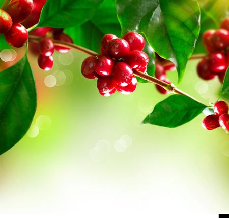 잘 익은 콩과 커피 나무의 커피 공장 지점 스톡 콘텐츠