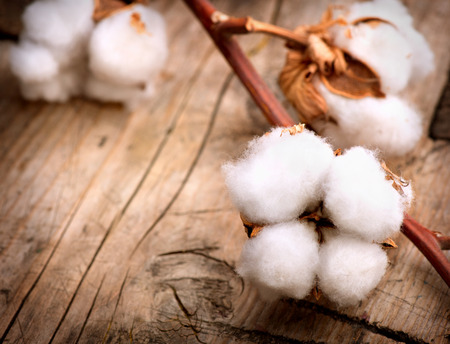 cotton: Beautiful Cotton plant buds over wooden background Stock Photo