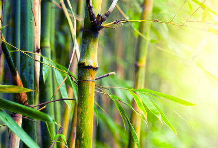Bamboo Forest Stockfoto