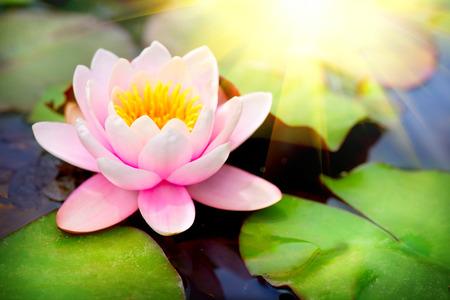 연못에 피는 부동 waterlilly 근접 연꽃 스톡 콘텐츠 - 28569956