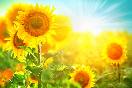 Fleures: Beau tournesol en fleurs sur les tournesols champ de culture Banque d'images