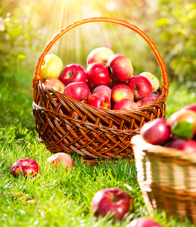 Organic Apples in a Basket outdoor  Orchard  Autumn Garden photo