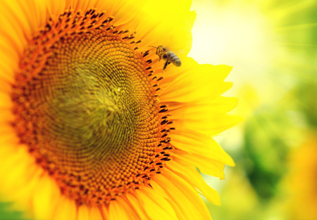Beautiful sunflower blooming on the field  Growing sunflowers photo