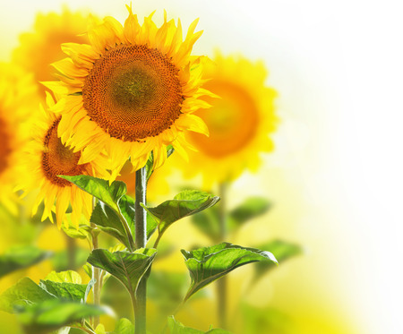 Blooming sunflowers border design isolated on white