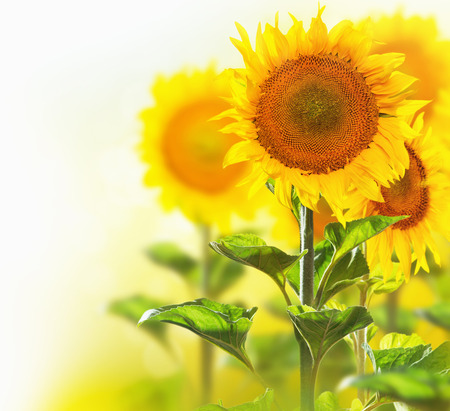 Blooming sunflowers border design isolated on white photo