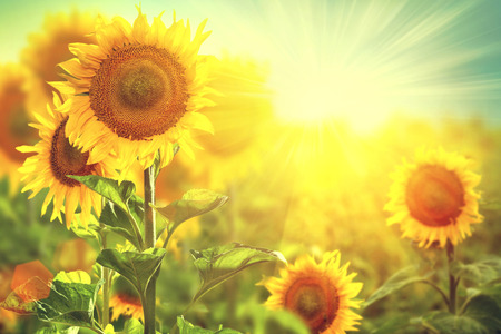 Beautiful sunflowers blooming on the field  Growing sunflower Banco de Imagens