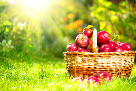 jugos: Manzanas org�nicas en un Orchard Autumn Garden Basket aire libre