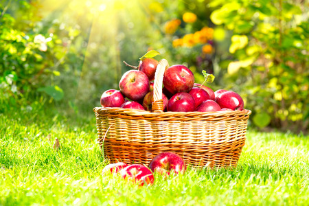 apples basket: Organic Apples in a Basket outdoor  Orchard Stock Photo