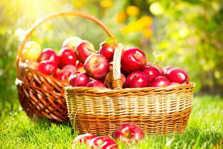 luz do sol: Maçãs orgânicas em uma cesta ao ar livre Orchard Autumn Garden Imagens