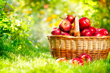 apples basket: Organic Apples in a Basket Outdoor Stock Photo
