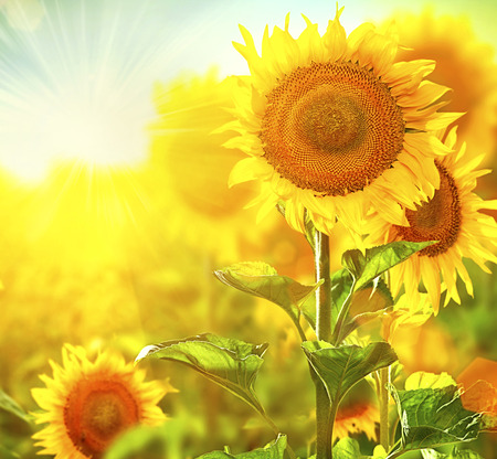 Beautiful sunflowers blooming on the field  Growing sunflower Stock Photo