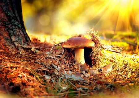 Cep mushroom growing in autumn forest. Boletus photo