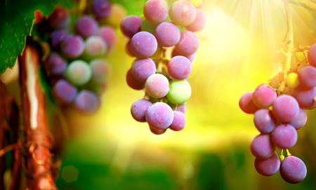 Bunch of grapes on grapevine growing in vineyard