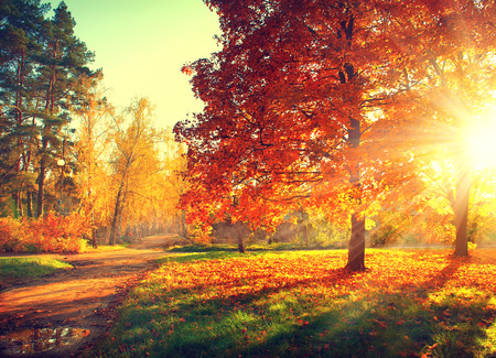 Autumn: Escena del otoño. Fall. Los árboles y las hojas en la luz del sol