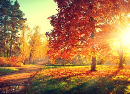 wschód słońca: Jesień sceny. Spadek. Drzew i liści w świetle słonecznym