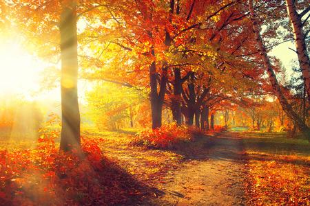 아침: 가을. 가을의 공원. 태양 광선에 단풍 나무와 나뭇잎 스톡 사진