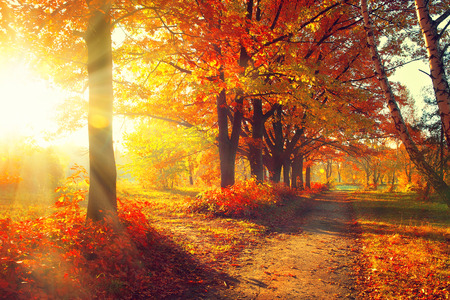 sunrays: Fall. Autumn Park. Autumnal Trees and Leaves in sun rays Stock Photo