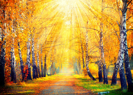 birch: Autumnal Park. Autumn Trees and Leaves in sun rays Stock Photo