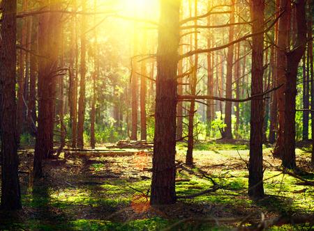 Misty Bosque Viejo. Bosque de otoño con la luz del sol
