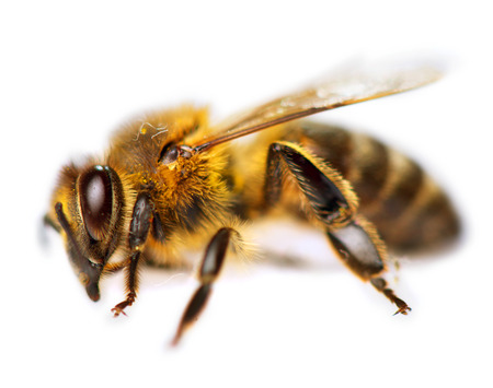 Bee isolated on a white background. Honeybee closeup