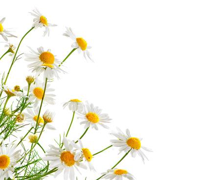 marguerite: Bouquet de Chamomiles isolé sur blanc. Conception de frontière Camomille