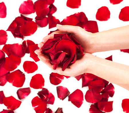 Rose petals in female hands over white background photo