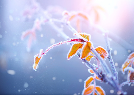 Winter nature background. Frozen branch with leaves closeup photo