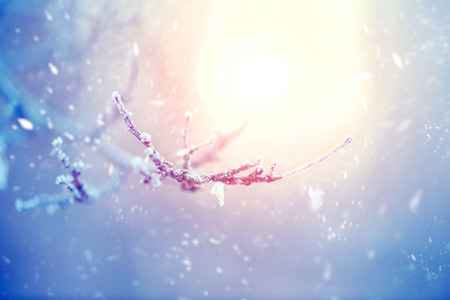 Winter nature background. Frozen branch with leaves closeup Stock Photo