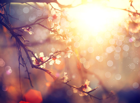 flowers bokeh: Spring blossom background. Beautiful scene with blooming tree Stock Photo