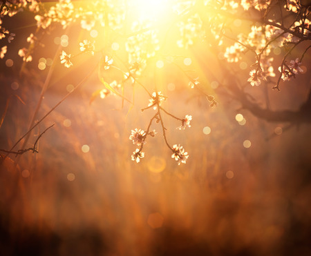 bokeh: Spring blossom background. Beautiful scene with blooming tree Stock Photo