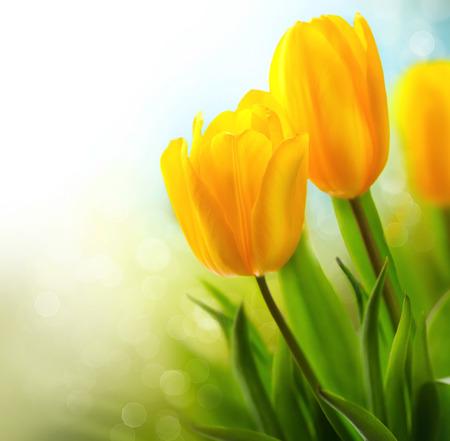 Spring tulip flowers growing. Beautiful yellow tulips closeup photo