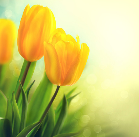 Spring tulip flowers growing. Beautiful yellow tulips closeup