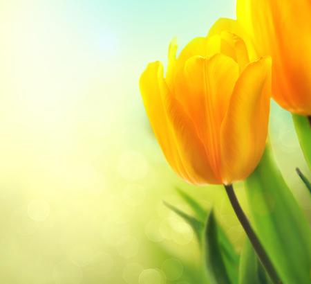 jardines con flores: Flores del tulip�n del resorte en crecimiento. Tulipanes amarillo hermoso del primer