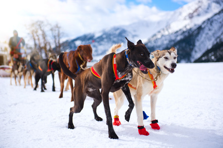 sled dog: Musher hiding behind sleigh at sled dog race on snow in winter Stock Photo